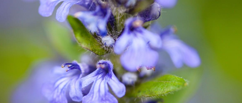 Fiore della bugola (Ajuga)